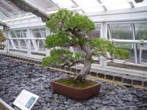 Bonsai fir